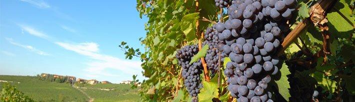 Weinreben, Niederösterreich, Hochzeiten am Land